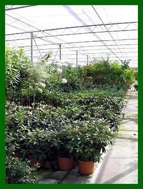20ltr Rhododendrons