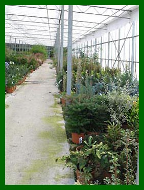 Abies Koreana, Picea Koster and Hoopsii, Nandinia etc.