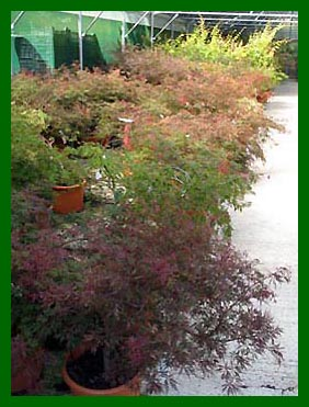 Acers in 20ltr pots