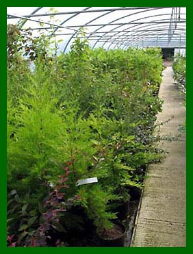 Growing tunnel showing Cupresssus Goldcrest, Escallonia etc
