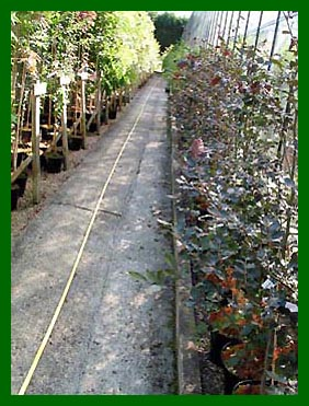 Hedging plants to the right Fagus Sylvatica Atropurpurea