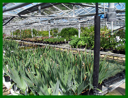 Iris's and perennials