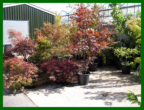 Specimen Acers and Cornus
