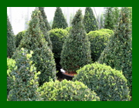 buxus shapes