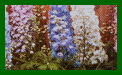 delphinium magic fountains mixed