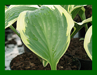 hosta_queen_josephine_web