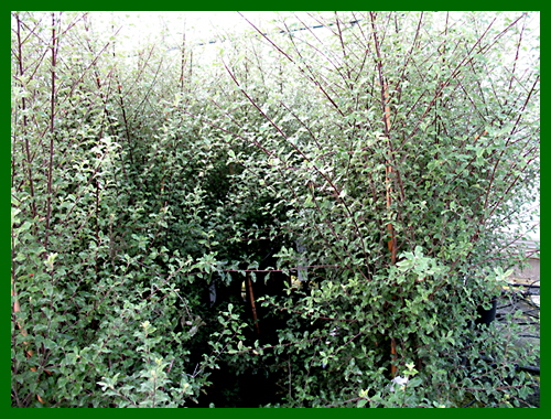 pittosporum french lace1