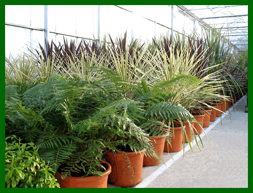 specimen cordylines and tree ferns